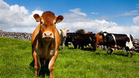 300 pedigree dairy heifers wanted for Russia deal