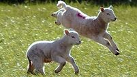 'Comeragh Mountain Lamb' seeks EU status