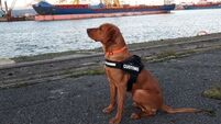 Detector dog Blue assists as €100k worth of drugs seized at Dublin Airport yesterday