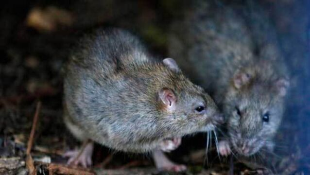 "Richard Faulkner of Rentokil: ""As well as lots of creepy crawlies in the empty buildings there could be mice and rats because they live in and around the buildings."""