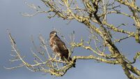 Trust calls for 'wildlife crime unit' after mass buzzard poisoning in Cork