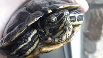 Believe it or not, Ripley the terrapin fails to relieve lockdown stress