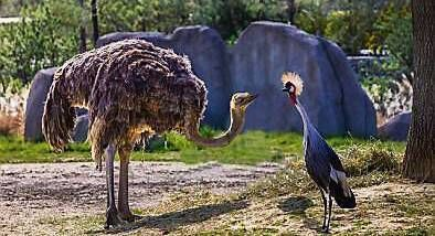 An ostrich meets a crane: Why did some bird species evolve away from flight?