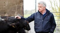Michael O'Leary's bulls and heifers still for sale, despite Covid-19