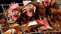 More than 50 highly pathogenic bird flu cases now in Europe