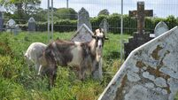 'Goatscapers' hired to help keep grass short at Cork graveyard