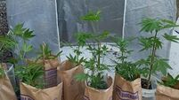 Gardaí find suspected cannabis plants growing in polytunnel at Tipperary house
