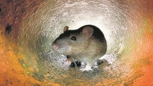 Man finds 14 rats in his flat as infestation forces Dublin residents to keep windows closed