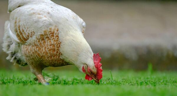 The H6N1 strain of avian flu can cause a drop in egg production, mild depression and an increase in mortality. File picture.