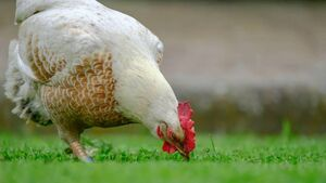Government fund for farmers hit by bird flu with
