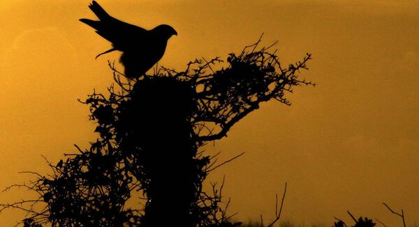 A buzzard is silhouetted as it surveys its territory in the early morning sunrise at Brittas bay. Co Wicklow. BirdWatch Ireland says attacks on people by the bird are very uncommon. Photograph: Garry O'Neill