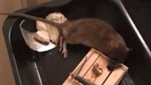 The rats have been infesting a housing estate in Co Louth.