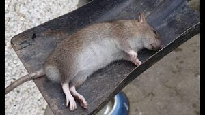 Louth residents terrified by rats 'size of shovels' in housing estate infestation