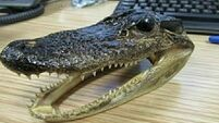 Seahorses, snakes, and wildcat teeth seized by customs