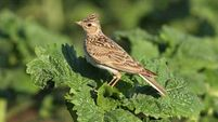 Richard Collins: Skylarks are the star singers of the park