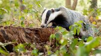 Change to vaccination protects badgers, cattle, and farmers