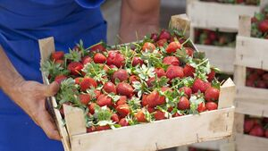 From roadside stalls to supermarket shelves: The remarkable growth of 			Ireland's strawberry industry