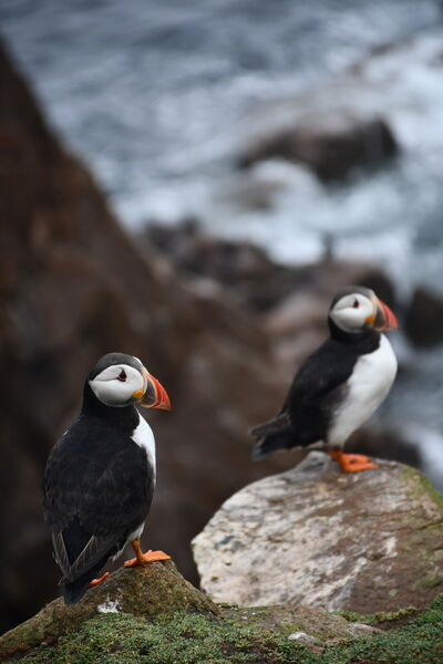 Puffins on the Saltee Islands.