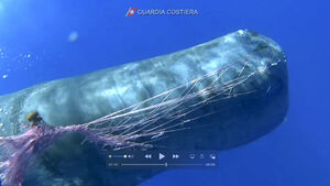 Italian coast guard works to free sperm whale from fishing net