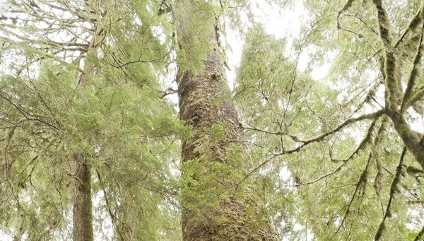 Climate change and the threat of new pests and diseases arising from climate change are posing a challenge to Ireland's Sitka Spruce forests.