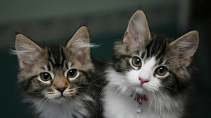 What you need to know about cats and coronavirus
