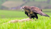 Common Buzzard (Buteo buteo) feeding on a rabbit. Taken in mid-Wales, UK