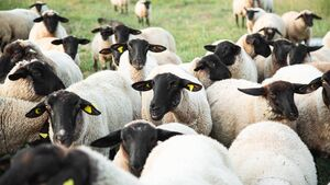 Weaker prices only a blip in lamb market
