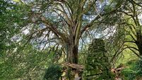 Bewitched: Help Ireland's most popular tree get the vote in Europe