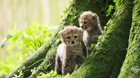 Fota's newborn cheetah cubs come out to play
