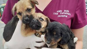 Animal welfare charity and gardaí seize puppies found in horsebox