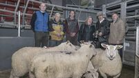 Market for lambs affected by temporary Kildare Chilling closure