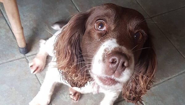 Molly the missing Springer Spaniel. Picture: Bring Molly Home Facebook page