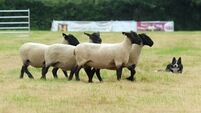 National sheepdog trials expecting up to 10k visitors