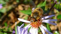 Hoverfly on sea aster .JPG
