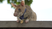 Hero rat awarded medal for lifesaving bravery