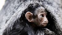 Dublin Zoo welcomes new baby monkey from endangered breed