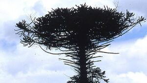 Cork residents snap up pieces of iconic monkey puzzle tree