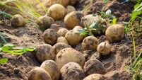 Severe risk of potato shortage due to wet weather