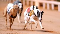 Irish Greyhound Board lodges complaint with BAI after RTÉ investigates documentary