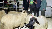 Up to 570c/kg paid as lamb scarcity boosts market