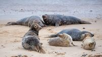 Grey seal pupping season