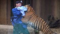 The moment a zookeeper was attacked by a tiger