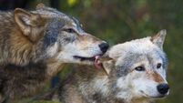 Wolf shot dead after escaping from zoo