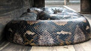Tragic boys died from asphyxiation from unpermitted python