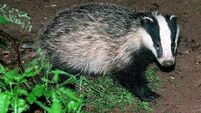 Campaigners protest at pilot badger cull in England