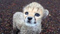 Fota welcomes historic cheetah cub but he needs a name