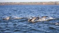 Dolphin 'superpod' enthralls ferry passengers in Canada