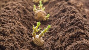 Brexit opportunity to market Irish seed potatoes