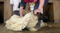 Shearing costs €2.50 but saves €8 per ewe