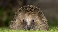 Hedgehog is Cork's most spotted species
